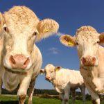 écornage bovin quand faut-il le réaliser?